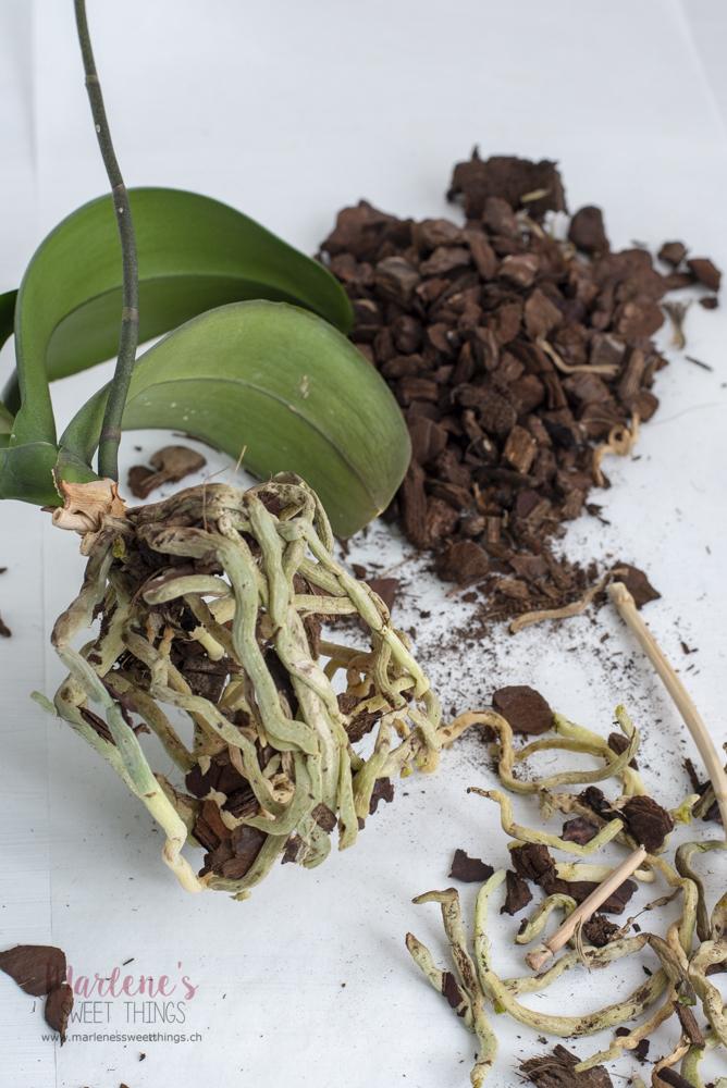 Orchidee: Umtopf anleitung